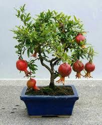 buy bonsai tree and properly maintain some tips fresh design pedia