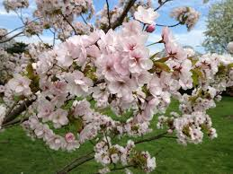 best cherry blossom in london at kew gardens sequins and cherry