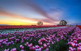 wallpaper bunga tulip gambar bunga tulip saat musim semi beautiful flowers pinterest
