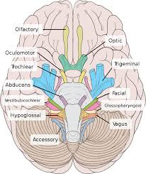 Exercise 17 Gross Anatomy Of The Brain And Cranial Nerves Cranial Nerves A Rn Bsn Pinterest Cranial Nerves Anatomy