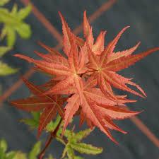 100 maple tree symbolism maple tree diseases tree flowers