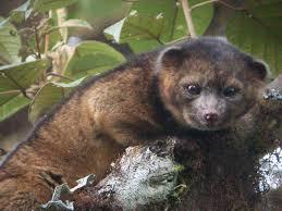 cutest new animal u0027 discovered it u0027s an olinguito nbc news