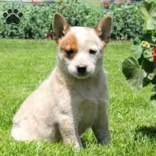boxer x red cattle dog blue heeler puppies for sale greenfield puppies