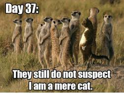Mere Cat Meme - day 37 they still do not suspect am a mere cat meme on me me