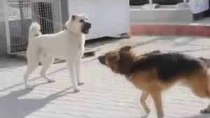 afghan hound vs wolfhound vicious kangal vs dominant german shepherd viraldogmoments