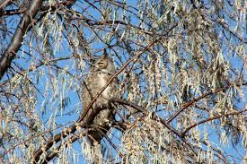 my favorite facts about the great horned owl center of the