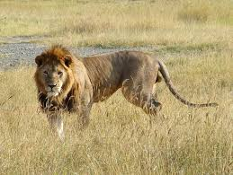 male lion wallpapers wildlife animals pictures from wildlife animal planet