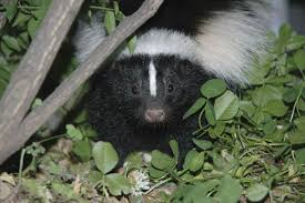 how to get rid of skunks from your garden hgtv