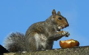 How To Hunt Squirrels In Your Backyard by Squirrels In Your Attic Or Home Learn How To Get Rid Of Them