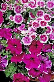 the 25 best dianthus flower ideas on pinterest flowers cottage