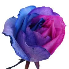 blue and purple flowers blue pink and purple rainbow roses farm fresh exports