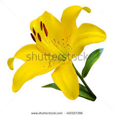 yellow lilies lilies flower flowers pattern yellow stock photo 454679500