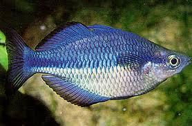 blue rainbowfish tropical fish keeping