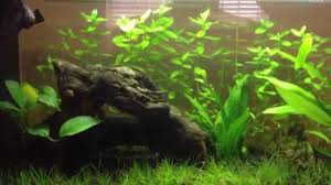 Plants For Aquascaping Aquascaping For Beginners Background Plant Youtube