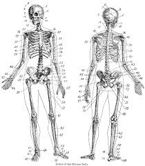 vintage halloween skeleton vintage anatomy skeleton images the graphics fairy