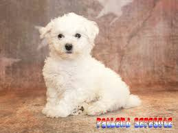 bichon frise dog breeders bichon frise puppies for sale the ultimate powder puff dog