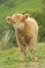 206 best highland cattle images on pinterest highland cattle