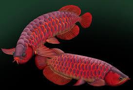 freshwater aquarium fish species pets world