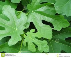 fig leaves stock photos image 22803