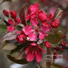 Profusion Flowering Crabapple - malus profusion crab apple tree mail order trees
