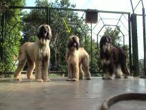 afghan hound sale afghan hound price afghan hound for sale breed
