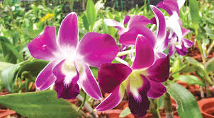 Orchid Cut Flowers - awesome orchids daily news