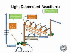 Where Do The Light Independent Reactions Occur Light Dependent Reactions Flow Chart Google Search Biology