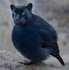 panther bird pictures