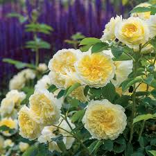Fragrant Rose Plants - fragrant roses give your garden the perfect scent of spring