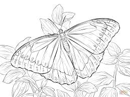 butterfly coloring pages morpho peleides butterfly coloring page free printable coloring