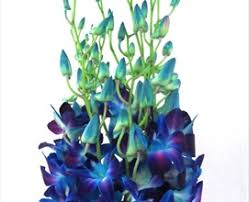 blue dendrobium orchids galaxy dyed blue dendrobium orchids flowers by category