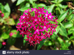 pentas flower pink penta flowers pentas lanceolata also called