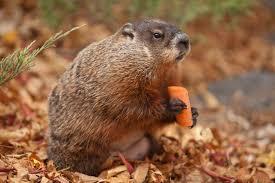 winnipeg woodchuck willow dies groundhog ny