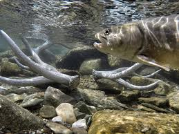 scientists try radical move to save bull trout from a warming