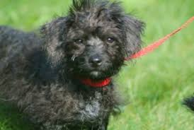 affenpinscher for adoption tiny tails for adoption tuesday is puppy day tiny tail wags