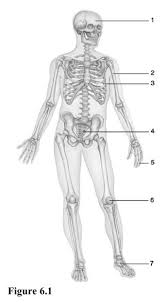 chapter 6 bones and skeletal tissue flashcards easy notecards