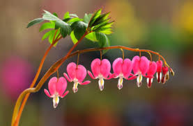 bleeding heart flower bleeding heart propagation how to propagate bleeding heart plants