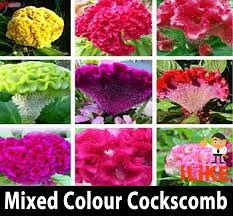 cockscomb flower mixed colour organic cockscomb garden flower seeds x 50 minimum