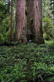 ten tallest trees in the world