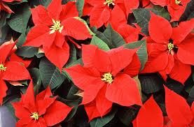 the plant of christmas the poinsettia mobile ranger