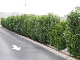 native plants for screening skip schipka laurel creates dense evergreen privacy screen