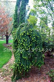 spruce seeds picture more detailed picture about climbing tree