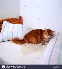 peeing the bed bad habit cat peeing in bed stock photo 2488570 alamy