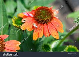 native american medicinal plants orange coneflower native american perennial daisylike stock photo