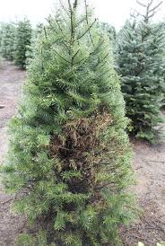 douglas fir christmas tree web blight emerges as concern in christmas trees timber capital