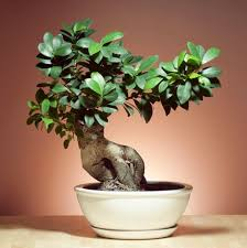 best indoor trees bonsai tree growth bonsai tree pictures how to start a bonsai