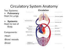 Human Anatomy Respiratory System Human Anatomy U0026 Physiology Circulatory U0026 Respiratory Systems Ppt