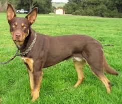 Bench Kelpie Puppies Sale Great Dog Breeds Australian Kelpie