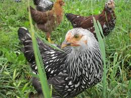 Raising Meat Chickens Your Backyard by Raising Broilers In Your Backyard Backyard Chickens