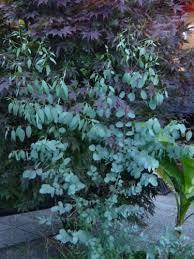 silver drop eucalyptus 20 silver drop eucalyptus gunnii cider gum tree seeds
